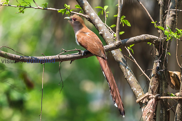 Squirrel Cuckoo (Piaya cayana), Pantanal, Mato Grosso, Brazil