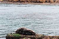 United States, California, Point Lobos State Natural Reserve. A Harbor seal sleeping on a rock.