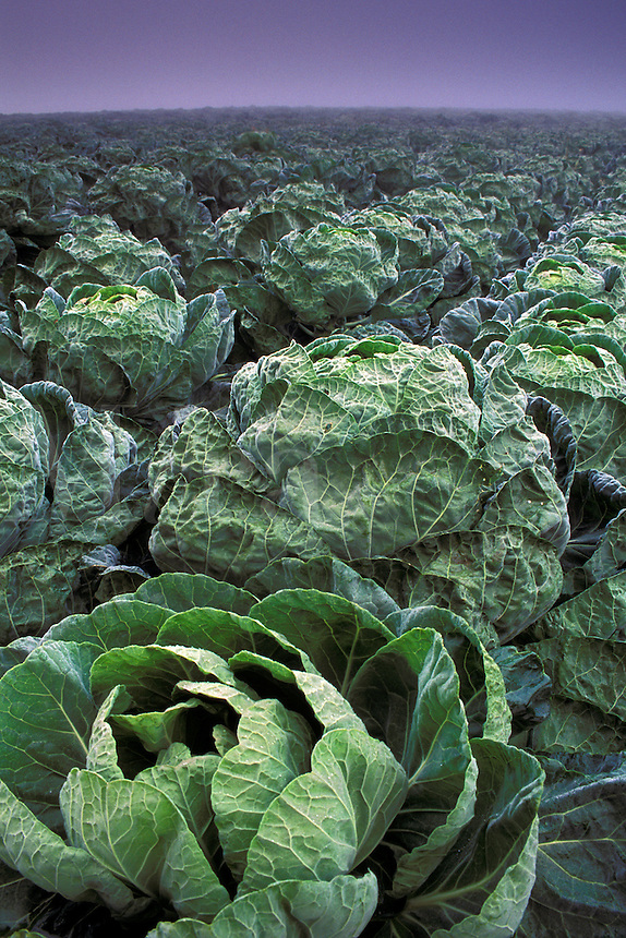 Field cabbagecrops planted in rows in fog, near Pescadero, San Mateo County, California Coast.
