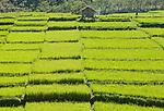 Vibrant green rice filds near Liang Bua Cave, Manggarai, Flores.