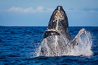 humpback whale, Megaptera novaeangliae, breaching, Hawaii, USA, Pacific Ocean