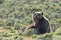 Grizzly bear sow nursing cubs in Yellowstone National Park