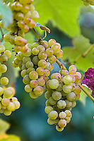 Wine, grapes and vineyards