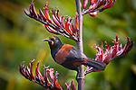 A North Island Saddleback with a pollen covered forehead, feeds on the flowers of a Flax on Tiritiri Matangi Island in the Hauraki Gulf of Auckland, New Zealand..Only one of three New Zealand species of Wattlebirds, the other two being the Kokako and the extinct Huia, the Saddleback with its chestnut saddle and bright red fleshy appendages either side of the beak are now more commonly found on predator free offshore islands and in mainland sanctuaries. Their habit of feeding on and nesting near the forest floor made them very susceptible to predation by the many introduced mammals, to the point that they vanished from the mainland..Most commonly feeding on insects and other invertebrates and fruits they will also take nectar when available, especially from the flowers of the New Zealand Flax.