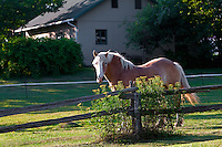 A horse is pictured in a small field in Saint-Petronille on Ile D'Orleans, near Quebec City July 22, 2010. The island is still an essentially rural place famous locally for its produce, especially strawberries, apples, potatoes and wineries.