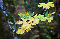 In mid-November, autumn lingers and slowly paints green leaves yellow at Bothe State Park in California's wine country.