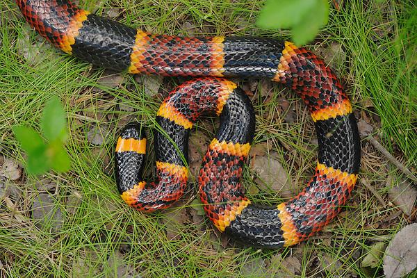 Texas Coral Snake (Micrurus tener), adult in leaf litter, Fennessey Ranch, Refugio, Corpus Christi, Coastal Bend, Texas Coast, USA
