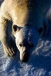 Nanuk: Polar Bear, Ursus Maritimus seen from the deck of the Arctic Sunrise in Kane Basin, North west Greenland.  <br />