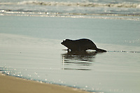 OCEAN BEACH, California/USA (Monday, November 7, 2011) Fur Seal on the beach during the contest.  – The Rip Curl Pro Search San Francisco was back on this morning in clean two-to-four foot (1 metre) conditions at Ocean Beach and  competition began with men's Round 5. .Stop No. 10 of 11 on the men's ASP World Title Race, the Rip Curl Pro Search saw Kelly Slater (USA), 39, officially secure his 11th ASP World Title yesterday when he topped young Brazilians Gabriel Medina (BRA), 17, and Miguel Pupo (BRA), 19, to advance directly through to the Quarterfinals while several surfers looking to secure a result prior to the ASP Top 34 end of year rotation have put in some stellar performances... Photo: joliphotos.com