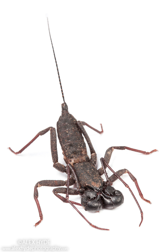Whip Scorpion / Vinegaroon / Vinegarroon / Uropygid {Thelyphonida} photographed on a white background in mobile field studio in tropical rainforest. Danum Valley, Sabah, Borneo, Malaysia.