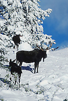 Moose (Alces alces), bull with young in snow, Yellowstone National Park,Wyoming, USA