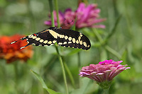 Giant Texas Swallowtail in a 'Run Through the Jungle' of our garden flowers. Title inspired by the song from Creedence Clearwater Revival..