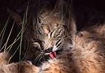 Bobcat grooming, captive at Living Desert