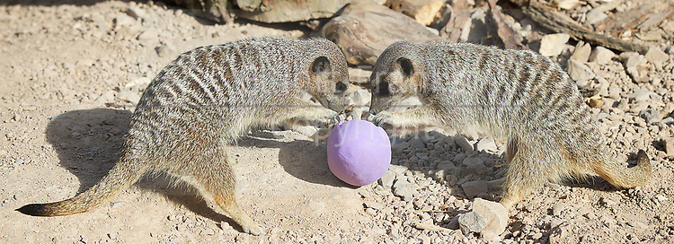 Meerkats' Easter surprise <br /> Animals enjoy egg-citing Easter hunt at ZSL London Zoo, Rehents Park, London, Great Britain <br /> 13th April 2017 <br /> <br /> Robbie &amp; Norman (aged 6) with some Easter Eggs he found. <br />  <br /> Zookeepers have shelled out on an egg-stravagant surprise for ZSL London Zoo&rsquo;s meerkat mob to enjoy &ndash; as they get ready to celebrate the Easter weekend.<br /> .<br />  <br /> Zookeeper Veronica Heldt, said: &ldquo;While there will be no chocolate for our inquisitive meerkats, we&rsquo;ve prepared an Easter egg hunt for the clan.<br />  <br /> &ldquo;This will encourage them to seek out treats hidden in the foliage and forage for food, mimicking how they would seek their food in the wild.<br /> <br /> <br /> Photograph by Elliott Franks <br /> Image licensed to Elliott Franks Photography Services