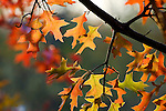 October brings a change of color to the leaves on a pin oak in Bellevue State Park, Iowa.