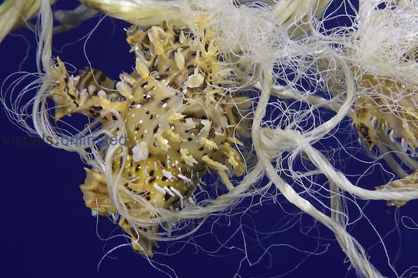 Sargassumfish (Histrio histrio) swimming with discarded plastic rope, Hawaii, USA.