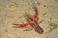 Roter Amerikanischer Sumpfkrebs, Louisiana-Flusskrebs, Roter Sumpfkrebs, Roter Teichkrebs, Procambarus clarkii, Red swamp crawfish, red swamp crayfish, Louisiana crawfish, Louisiana crayfish, mudbug