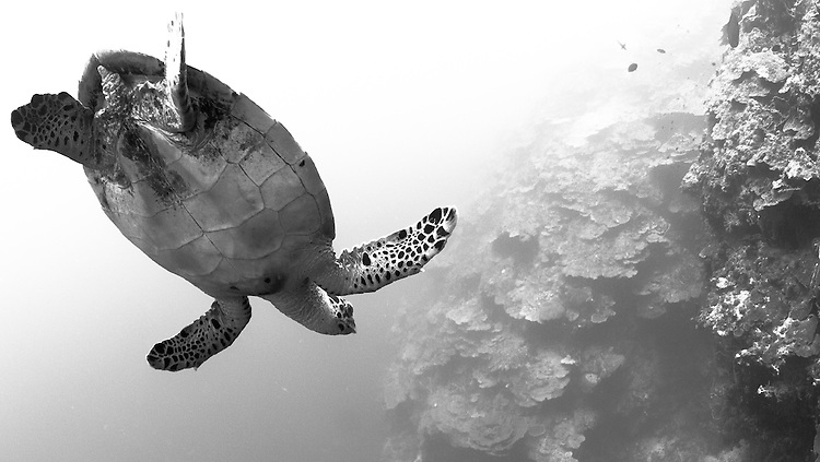 Hawksbill turtle (Eretmochelys imbricata) in the diving position, Fathers reefs, Kimbe Bay