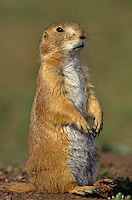 Blacktail Prairie Dog, Cynomys ludovicianus, in prairie dog town at Wind Cave National Park, South Dakota, AGPix_0066.