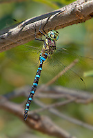 339580001 a wild male persephones darner dragonfly aeshna persephone perches on a tree limb in garden canyon on fort huachuca army base cochise county arizona united states