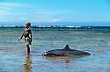 A young boy from Kontu village plays on the reef shallows next to a speared dolphin... out on the reef the men of the village continue the hunt..Kontu, New Ireland Province, Papua New Guinea;