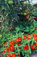 Red orange zinnias with tomatoes, flowers planted with vegetables