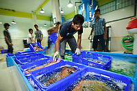 Live grouper being processed at the Pulau Mas facility in Denpasar, Bali, Indonesia. The grouper are destined for export to Hong Kong.  The live reef fish trade is a highly lucrative business that is associated with several, highly destructive fishing methods, including the use of cyanide to stun and capture the fish alive.  However, Pulau Mas uses more sustainable practices and the company supports the use of traditional handline fishing methods, refuses to trade in fish caught using cyanide and enforces a minimum catch size.