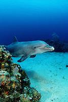 An Atlantic Bottlenose Dolphin, Tursiops truncatus, on a Caribbean Reef,  Roatan, Honduras.