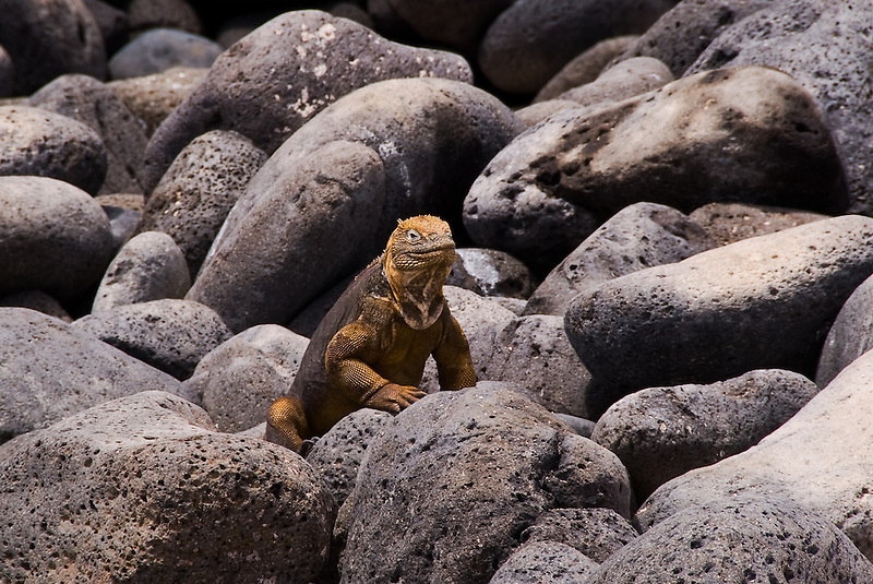 Land Iguana<br /> Galapagos