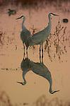 Sandhill Crane Portrait & Scenic