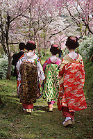 Miko Girls walk among the cherry blossoms in spring.