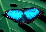 Morpho Peleides Butterfly, wings open, blue, jungle, rainforest, .Belize....