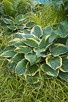 Hosta Northern Exposure and Carex elata 'aurea'