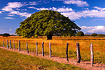 The Wide Canopy Of The Guanacaste Tree Sits On The Flat Plains Of Guanacaste Cattle Ranches In Costa Rica.  The Tree Is The National Tree Of Costa Rica.