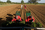 Planting of Christmas tree transplants at Fillingham Christmas trees in Lincolnshire on Fillingham estate, England.