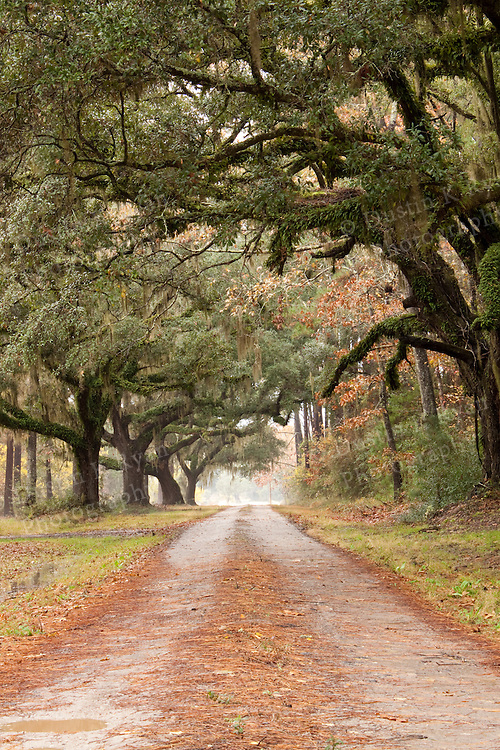 Plantation Road Lined Live Oak Trees with Spanish moss Southern South Carolina