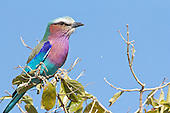 Lilac breasted roller, sitting on a vantage point. It is a hardy and very adaptable bird. Ease to approach if care is taken.