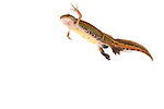 Male palmate newt swimming underwater (field studio).