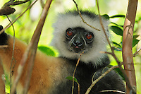 Diademed Sifaka face (Propithecus diadema), Andasibe-Mantadia National Park, Eastern-central Madagascar
