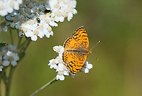 337970004 a wild mylitta crescent butterfly phycoides mylitta perches on a white flower in modoc county california