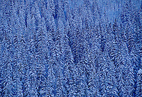 Snow covered pine trees on Gotchsna Mountain, Klosters, Switzerland