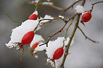 Rosehips coated with snow.