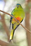 Orange Bellied Parrot, Healesville Sanctuary
