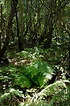 Ferns and Moss covered branches in the Parque nacional de Garajonay forests, La Gomera, Canary Islands,Spain