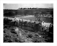 Contractors from Cattoor Livestock Roundup, a company based out of Nephi, Utah, work with officials from the Bureau of Indian Affairs and the Bureau of Land Management to drive wild horses into a netted chute.  They are penned at the end of the chute and subsequently sexed and sorted.  Young animals are sent for further testing before being put into the adoption circuit; older horses are fertility treated and re-released.  Principles of range management limit the number of animals that a given plot of land can support and, with annual population increases of about 14%, the BLM works to round up excess wild horses.