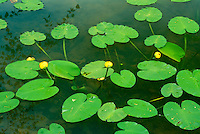 Heart shaped spatterdock leaves with yellow buds floating in lake-- the plant begins new growth when water is 60 degrees and begins buds soon after