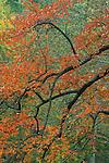 Fall colors of common persimmon (Diospyros virginiana), Eno River State Park, North Carolina