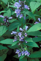 Nepeta subsessilis catmint, closeup of blue flowers