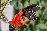 Black Swallowtail butterfly Papilio polyxene with head inside flower pollination of red Crocosmia 'Lucifer' bloom, Eastern black swallow tail