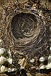 small bird nest made from grass and twigs with remains of a coots leg